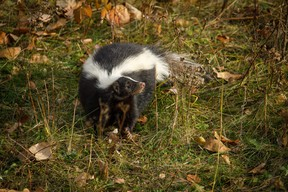 Skunks are becoming more common in the Grande Prairie area.  Mike Drew/Postmedia