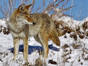 Environmental groups are taking aim at Cheshers Outdoor Store in Belleville for hosting a coyote hunt contest asking hunters to deliver the top 10 largest animals. Eco groups fear at-risk Alqonquin wolves could be mistakenly shot by hunters in the contest. COYOTE WATCH CANADA