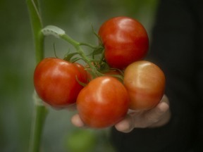 Tomatoes are shown at a Nature Fresh Farms greenhouse in Leamington, March 31, 2020.