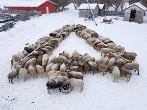 Carrot River's Art and Marcy Friesen's sheep had the Christmas spirit. The couple arranged the feeding bunks for their Katahdin sheep in the shape of a tree, just in time for the holidays. This past Easter, the sheep fed in the shape of a cross. Photo Marcy Friesen.
