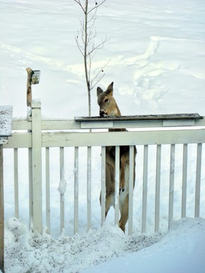 When I finally removed the snowbank created by clearing the deck, the deer could no longer reach the bird feeder.