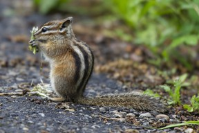 A least chipmunk takes advantage of the tender morsels of dandelion seed heads to fill up on breakfast along a walking path in Saskatoon Island Provincial Park. RANDY VANDERVEEN