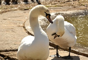 A pair of swans bask in the spring sunlight at their winter enclosure behind the William Allman Memorial Arena Tuesday -- the same day the City of Stratford announced the cancellation of this year's Swan Parade. Galen Simmons/The Beacon Herald/Postmedia Network