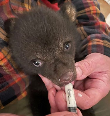 A baby black bear rescued on the weekend near Sudbury is now being housed and fed at the Bear With Us sanctuary in Muskoka. The cub is less than three months old and weighs under five pounds.