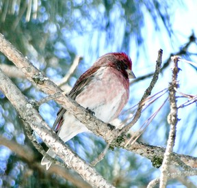 This purple finch was an early April arrival last spring.