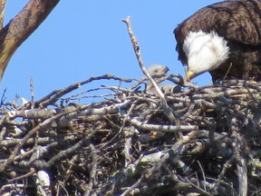 May 12, 2020 on West Bay, Keewatin. The flat (not cupped) surface of the nest is covered with much finer materials.
