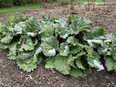 A rhubarb plant in a backyard garden. John DeGroot photo