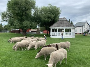 The City is welcoming new shepherds and a new flock of sheep this summer. Photo by Jennifer Hamilton / The Record.