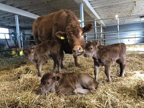 BARN – Emma, a Limousin beef cow on the storied Bow Park Farm, had a surprise for her owners when she delivered triplets in April – an extreme rarity in cattle breeding.