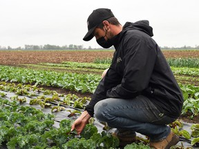 Alex Wingrove, owner of Country Market Garden, checks on the crops at the Chatham-area farm May 3, 2021. Wingrove will be awarded the Young Entrepreneur of the Year Award by the Chatham-Kent Chamber of Commerce this year.