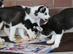Handout Not For Resale Five eight-week-old puppies — all of them up for adoption by the way — were tasked with creating their very own paintings for the OSPCA SDG Animal Centre. Handout/Cornwall Standard-Freeholder/Postmedia Network