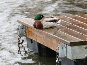 A solitary duck rests on a dock on Ramsey Lake in Sudbury, Ont. on Tuesday May 4, 2021. John Lappa/Sudbury Star/Postmedia Network
