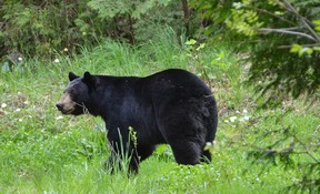 A black bear that made its way into Owen Sound in May 2015.
