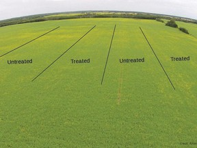 Try a few untreated and treated strips in the same block (four strips of each are ideal), Photo Amanda Wuchner, CCC.
