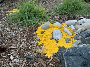 From a distance, dog barf slime mold might look like a yellow Frisbee that the neighbour kids tossed into your backyard. Bright yellow, and often eight to 10 inches in diameter, dog barf slime mold shows up overnight without warning. John DeGroot photo