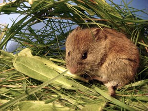 The meadow vole (a.k.a. field mouse) is close to the bottom of the food chain as its predators number numerous species including foxes, wolves, bears, skunks, weasels, lynx, minks, snakes, hawks, owls, herons, ravens, crows - and others.