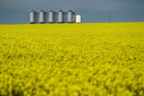 A row of granaries  wait for a yellow field of canola to move beyond the colourful stage through the development of pods and filling out for harvest.