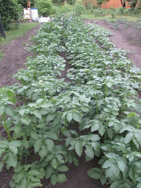If it wasn't for the hand water pump shown in the upper left corner, these potato plants would not have grown nearly so lush by mid-July. Add to that not a single potato beetle to be found all season, now well into August. (Ted Meseyton)