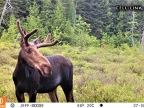 A curious young bull moose out for a summer stroll, captured on the author's trail camera.