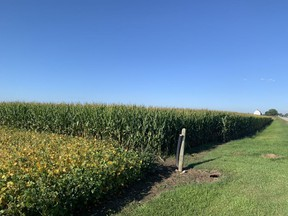 Fields outside of Wallaceburg showing the soybean and corn crops. According to Chatham-based Great Lakes Grain, Ontario's corn harvest could be a record, while the soybean yield could almost match 2020's record harvest. Photo taken Wednesday, Sept. 8, 2021. Peter Epp