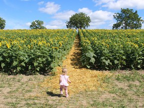 Meyer O'Hearn looks up a straw-lined path through a field of sunflowers in 2019 at Brian Schoonjans' farm near Forest. The sunflowers returned to the farm this summer as part of Miracle Max's Minions project to raise funds for childhood heath charities.