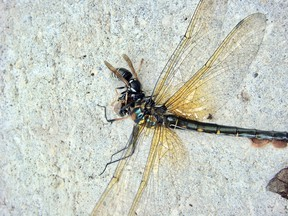 The dragonfly attacked a bald faced hornet but did not live long after being stung in the vulnerable neck area between the head and thorax.