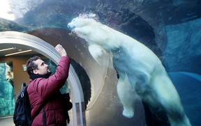 Polar bears enjoy the winter in Assiniboine Park, in Winnipeg, Manitoba.