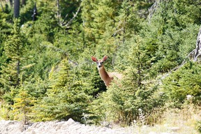 "Anticosti Island is home to some 125,000 deer — and fewer than 250 people. A deer peers from the forest on  August 13, 2013 on Anticosti Island, Canada. Between 800 and 1,000 tourists are expected to visit Anticosti in the summer of 2013, but every Fall as many as 4,000 hunters come to the island in the Gulf of St. Lawrence. The size of the French island of Corsica in the Mediterranean, Anticosti has only 216 inhabitants. Quebec's Petrolia gas exploration company announced a partnership with the community to install an hydrocarbons exploration program scheduled to star in 2014. Economist specializing in energy issues, Pierre-Olivier Pineau believes that fracturing gas ""increases opportunities for fugitive gas leaks"" that are ""worse for the greenhouse effect because it is methane that escapes without being checked.""   AFP PHOTO / Clement SABOURIN        (Photo credit should read Clement Sabourin/AFP via Getty Images)"
