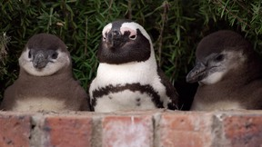 Penguins play peek-a-boo in the new docuseries Penguin Town.