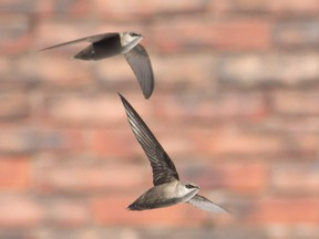Chimneys swifts are a threatened species in Ontario.