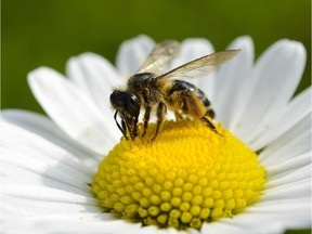 A bee collects pollen from a flower on May 8, 2014 in Bamberg, southern Germany.