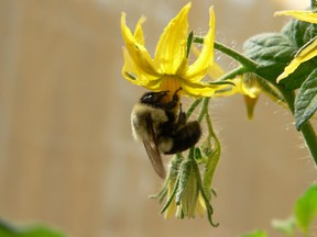 Bumblebee pollinates tomato flower.  (No visible fungus in this one.)