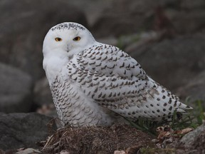 Snowy Owls appear to be on the move south again. After last winters major invasion there have been 15-20 owls reported so far this month in eastern Ontario.