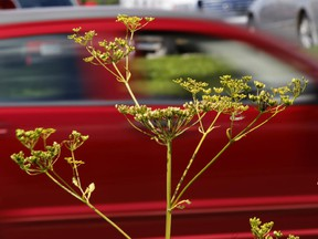 A small patch of wild parsnip just past its flowering stage on a roadside.