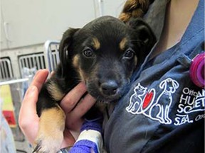Sadie, a seven-week-old Rottweiler puppy, in the critical care unit at the Ottawa Humane Society.