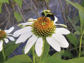 Echinacea, grown in the Château de Ramezay garden, was used to treat scarlet fever, malaria and other illnesses, and more recently to fight the common cold.