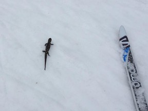 Patrick Scott of the Fresh Air Experience in Wellington West spotted what nature-lovers have identified as a yellow-spotted salamander while  skiing on the Fortune Lake Parkway Wednesday.