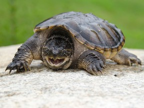 File photo of a snapping turtle. (Dan Logan/Getty Images)