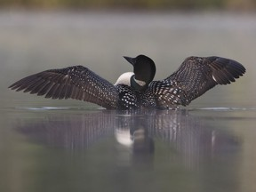 A loon rises from a misty lake.