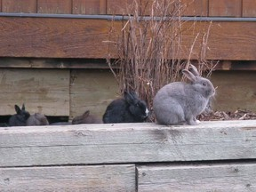 Feral rabbits are shown in Canmore, Alta., on November 22, 2011. Canmore has spent almost $400,000 to rid the town of feral rabbits but the problem persists and residents remain divided over the controversial cull program.