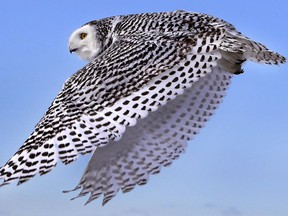 A snowy owl is shown in flight on Dec. 14, 2017, after being released in Duxbury, Mass.