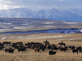 Ranchers gather cattle in the Yarrow Creek valley north of Waterton Lakes National Park, Alta., on Wednesday November 13, 2013.