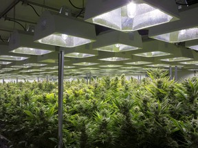 A general view of cannabis plants are shown in a grow room at Up Cannabis Inc., Newstrike Resources marijuana greenhouses, in Brantford, Ont.,