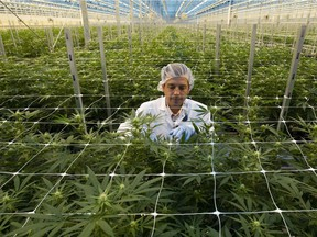 A Hexo Corp. employee examines cannabis plants in one of the company's greenhouses, seen during an October tour of the facility in Masson Angers, Que.
