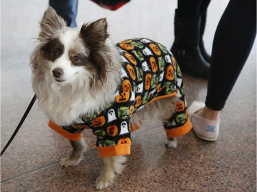 """Tremblant, an Australian Shepherd, is dressed up at the """"Trick or Treat with the Mayor"""" Halloween event at City Hall."""