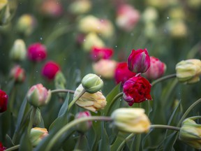 Despite the unseasonably cool weather, the tulips are in bloom at The Canadian Tulip Festival in Commissioners Park.