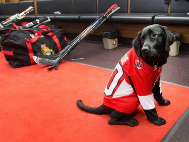 """""""Rookie"""", the Canadian Guide Dog puppy being trained by the team, looks a little lost in an empty dressing room as the Ottawa Senators wrap up their season by clearing out their lockers and head home.  Photo by Wayne Cuddington/ Postmedia"""
