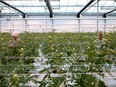 Workers at Canopy Growth Corporation.