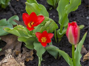 OTTAWA --May 1, 2020.  April showers have brought May flowers as the annual arrival of tulips in beds around the region, including this bunch in Commissioners Park, begin to arrive.
