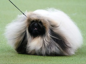 A Pekingese named Wasabi is judged at the 2020 Westminster Kennel Club Dog Show at Madison Square Garden in New York City, Feb. 10, 2020.